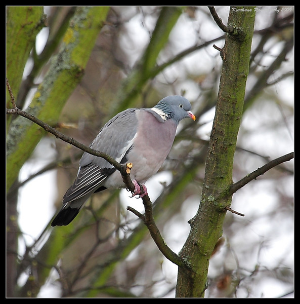 Woodpigeon, Portsmouth, England, UK, December 2009