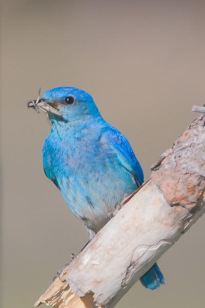 Mountain Bluebird - Male - Kyburz Flats, Near Sierraville, CA, USA