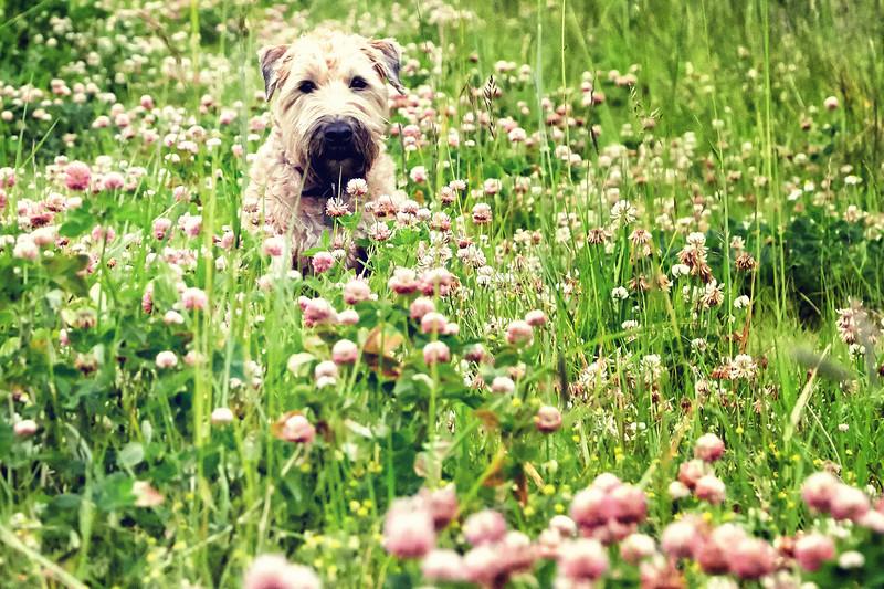 Olive-pinkflowers-3-AF2A0524_.jpg