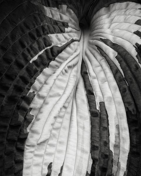 hosta-leaf.jpg
