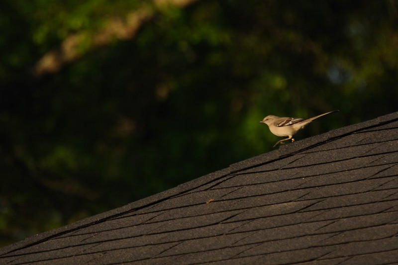 Mockingbirds staking out their territory.