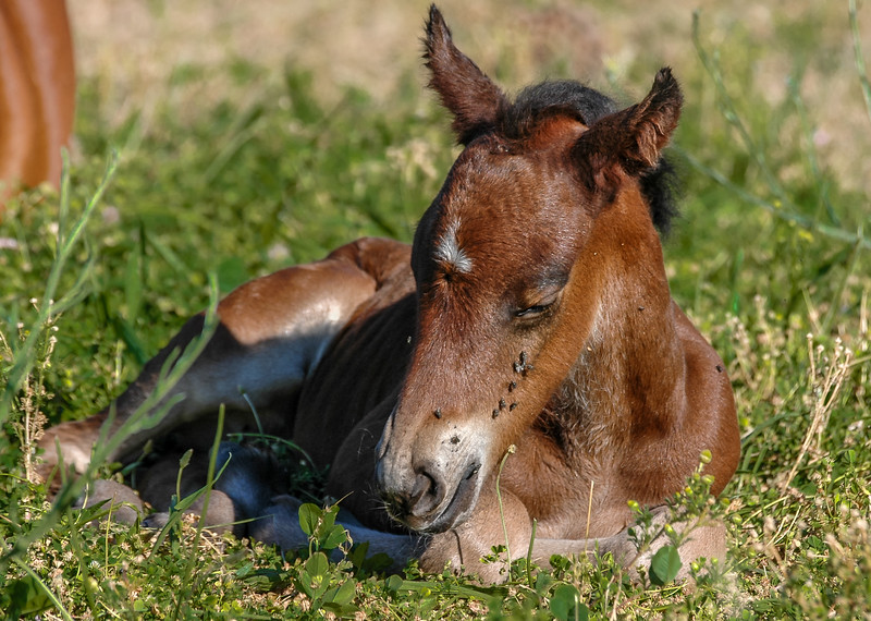 Newborn Wild Horse Foal with Flies on Face #1