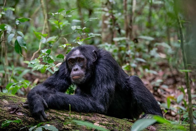 Uganda_T_Chimps-326.jpg