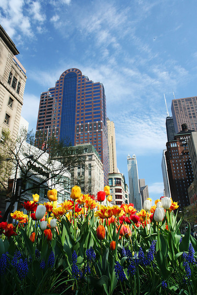 Michigan Avenue Tulips 6