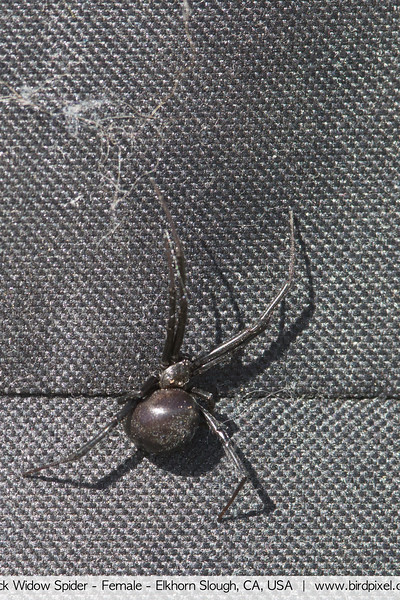 Black Widow Spider - Female - Elkhorn Slough, CA, USA