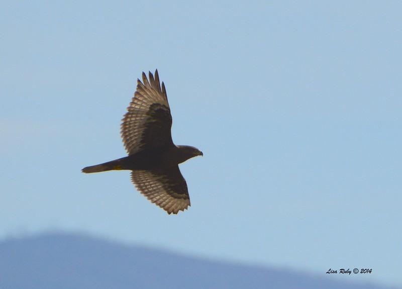Dark morph Ferruginous Hawk - 12/7/2014 - Rangeland Road, Ramona