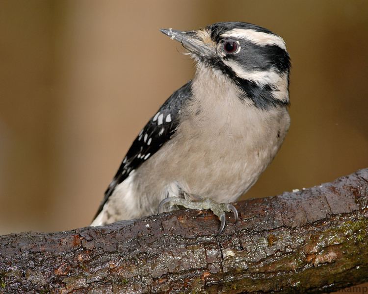 A good way to get pictures of Downy Woodpeckers and other small birds is drill quarter inch holes in a branch and stuff peanuts in the holes, the Chickadees and Nuthatches will chip away at the peanuts and you get a chance for a photo.