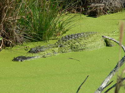 Alligators!