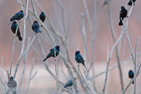 Brewer's Blackbirds