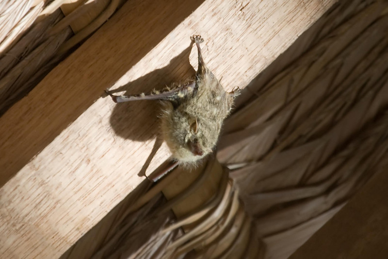 Long-nosed Bat at Cocha Blanco near Manu Wildlife Center, Peru (2008-07-10).psd