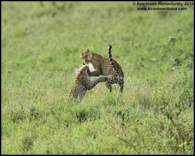 Leopard mom and cub playful mood after the meal, Serengeti National Park, Tanzania, November 2019