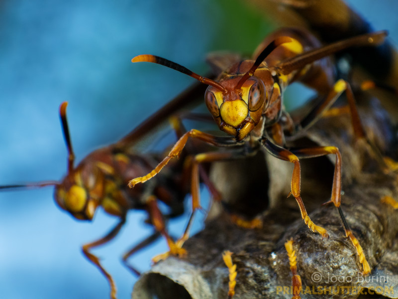 Group of paper wasps defending their nest