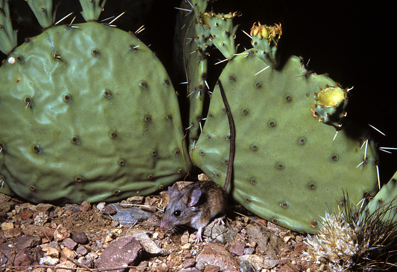 Cactus Deermouse (Peromyscus eremicus) Big Bend National Park, TX, 1958