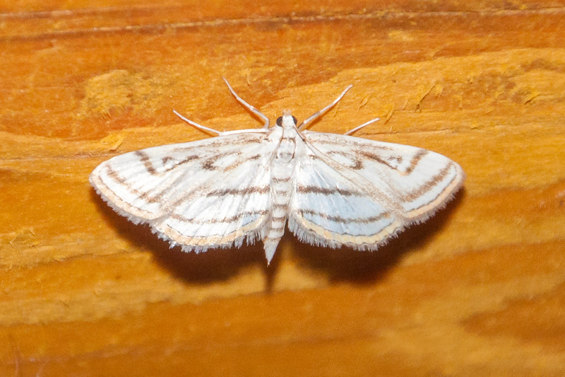 Pondweed-Chestnut-marked-(Parapoynx badiusalis)- Dunning Lake - Itasca County, MN
