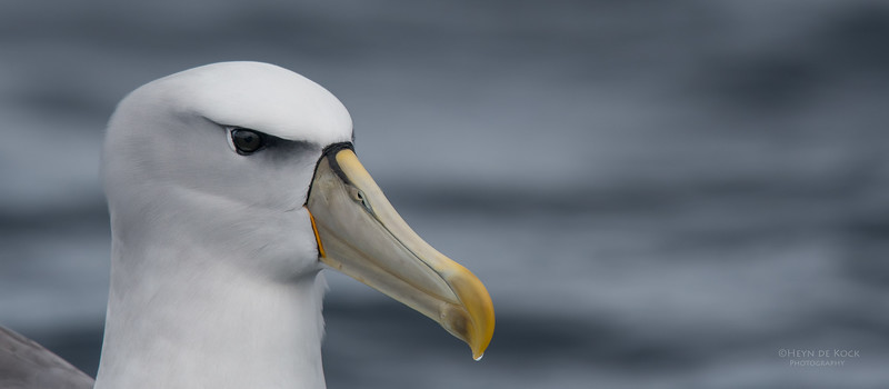 Shy Albatross, Eaglehawk Neck Pelagic, TAS, Sept 2016-3.jpg
