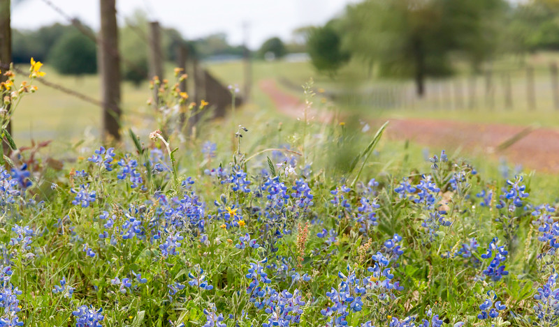 blue bonnets and barb wire