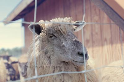 Sheep Shearing - March 2016