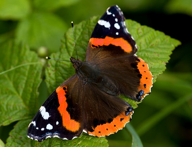 Emperors, vanessids, Nymphalidae