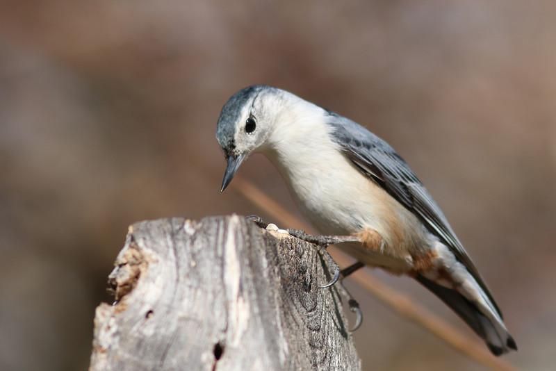 A nuthatch. At the Elizabeth A Morton National Wildlife Refuge.