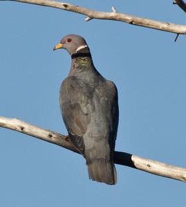 Band-tailed Pigeon Patagioenas fasciata