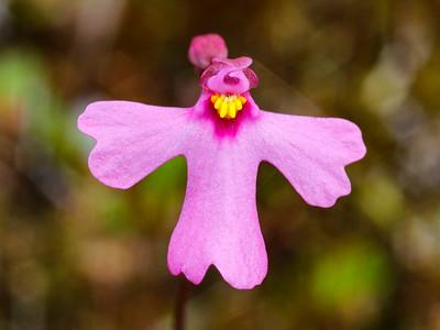 Lentibulariaceae