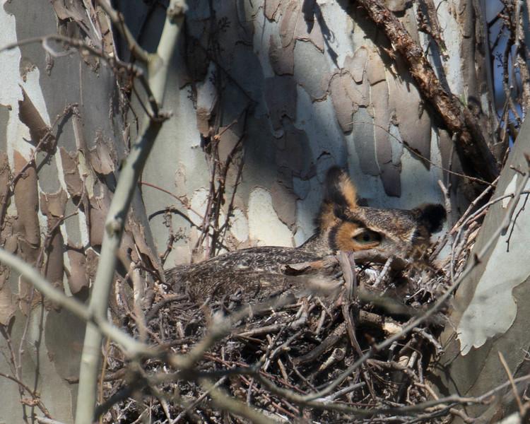 Great Horned Owl CVNP-03.jpg