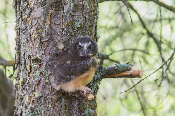 Saw Whet Owl Tagging - Strathcona County