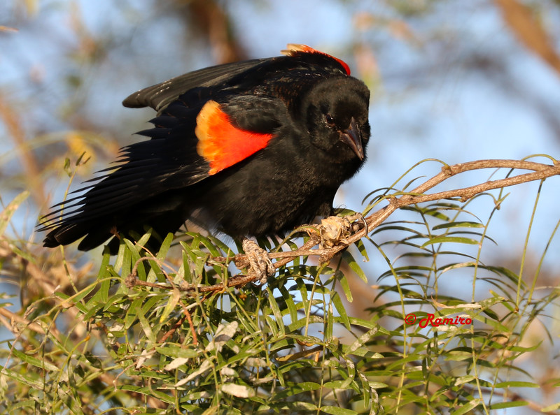 Red-winged Blackbird IMG_0340.jpg