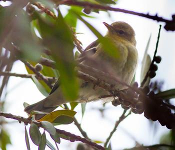 Blackpoll Warbler Setophaga striata