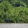 Ucayali/Amazon River, Loreto Region, Peru, South America