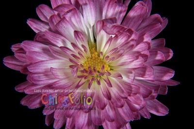Studio Chrysanthemum