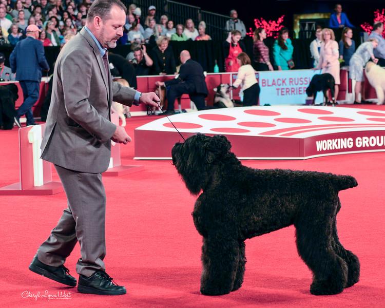 Black Russian Terrier - GCHS CH Midnight Rider's Black Denim Trousers