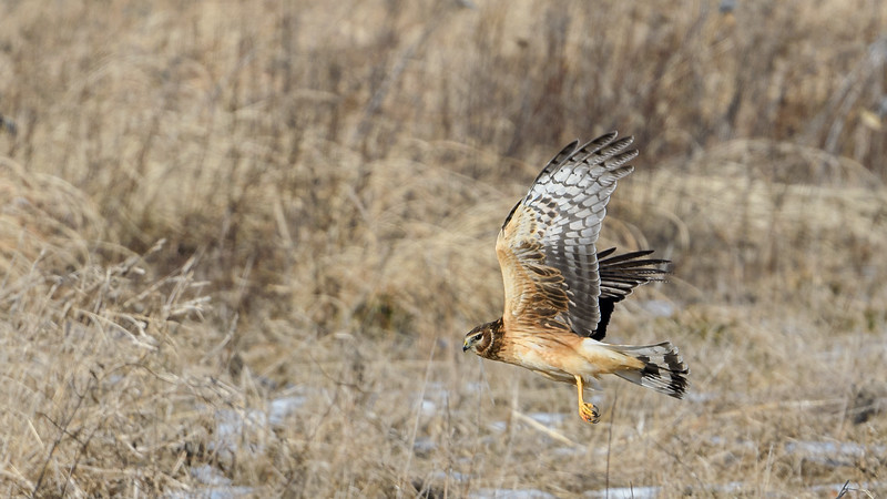 Northern Harrier Wallpaper-7492.jpg