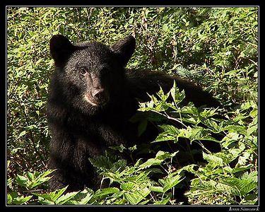 BLACK BEARS (Ursus americanus).