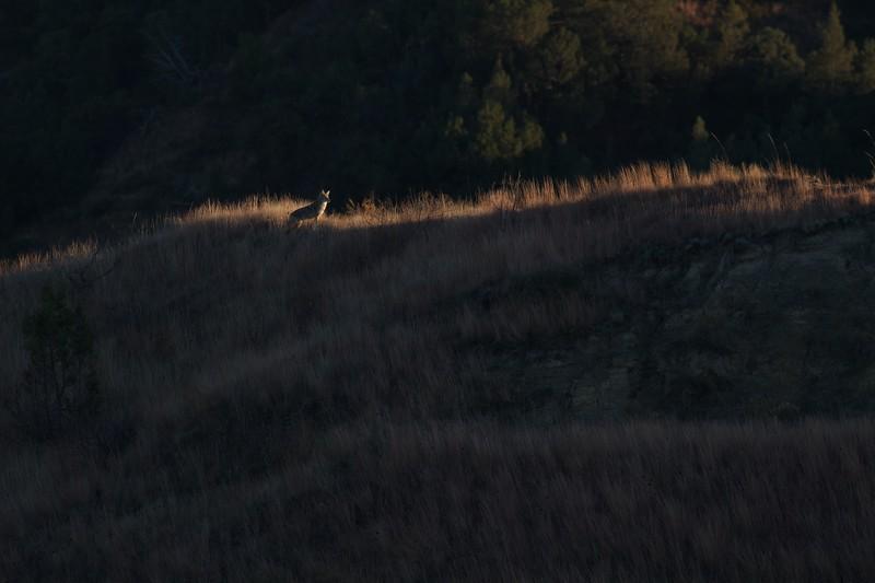 Coyote Teddy Roosevelt National Park ND IMG_7224.jpg