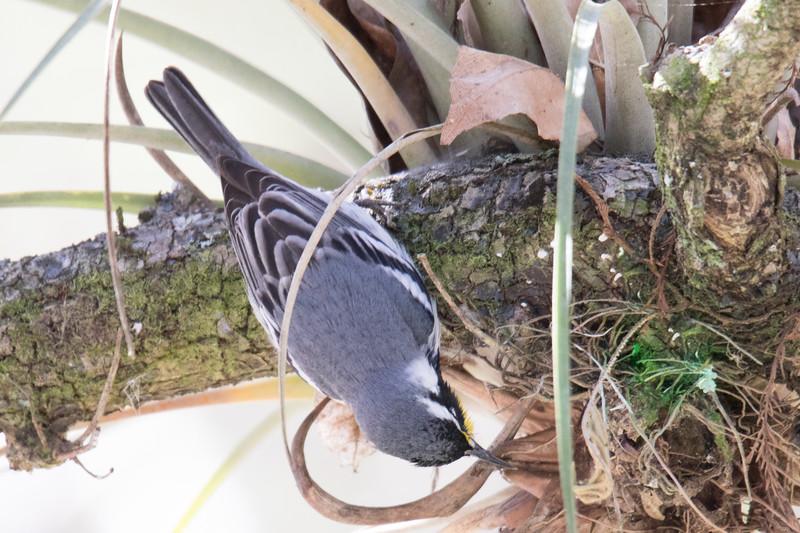 Yellow-throated Warbler So. FL 2020-1.jpg