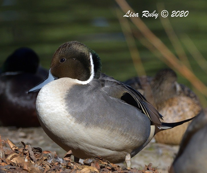 DSC_2158_NorthernPintail_c.jpg