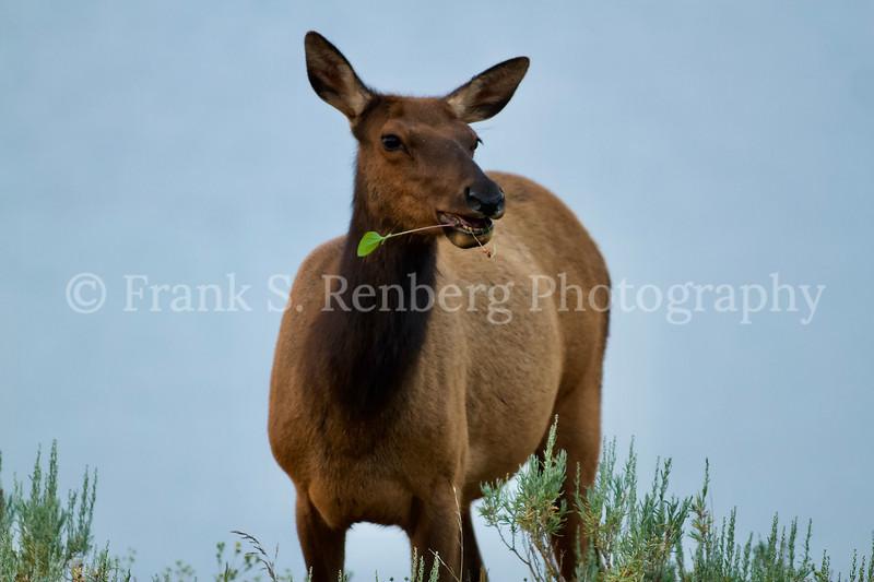 Wapati/Elk