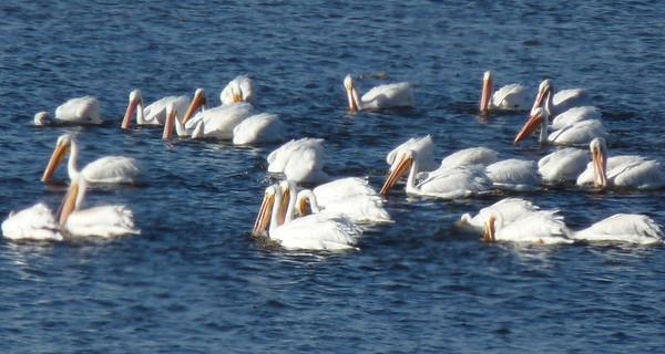 Fall Migration, Upper Mississippi River,  2013