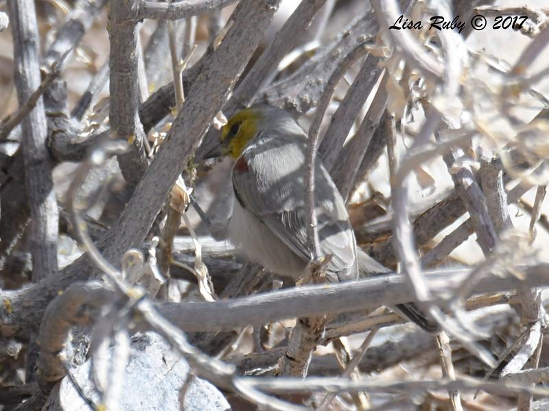 Verdin - 10/21/2017 - McDowell Sonoran Preserve, Scottsdale AZ