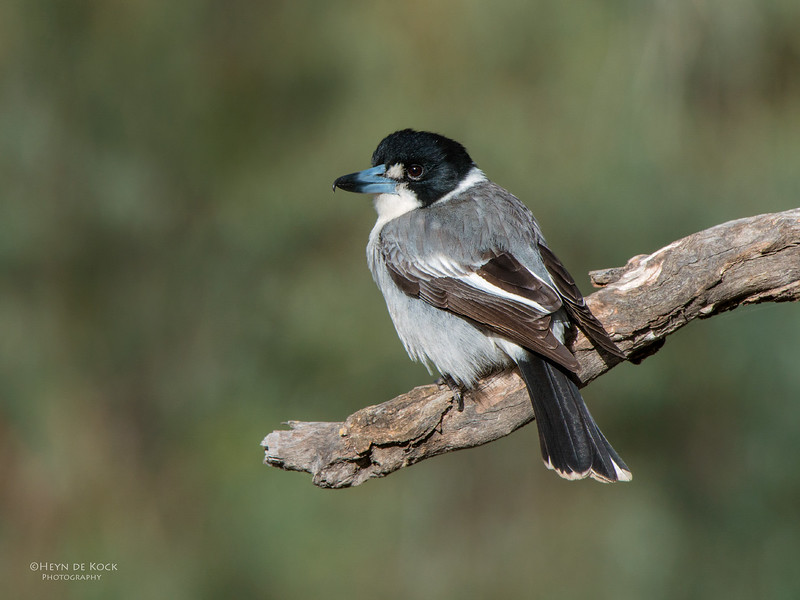 Grey Butcherbird, Hattah-Kulkyne NP, VIC, Aug 2012.jpg