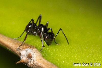 Dome-backed Spiny Ant