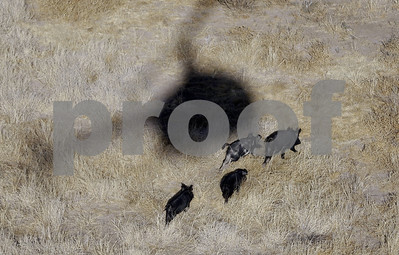 oklahoma-may-legalize-hog-hunting-from-helicopters