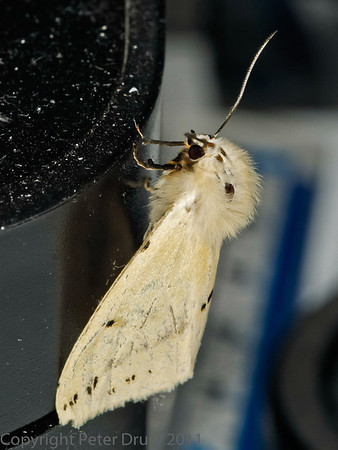 Buff Ermine (Spilarctia luteum)