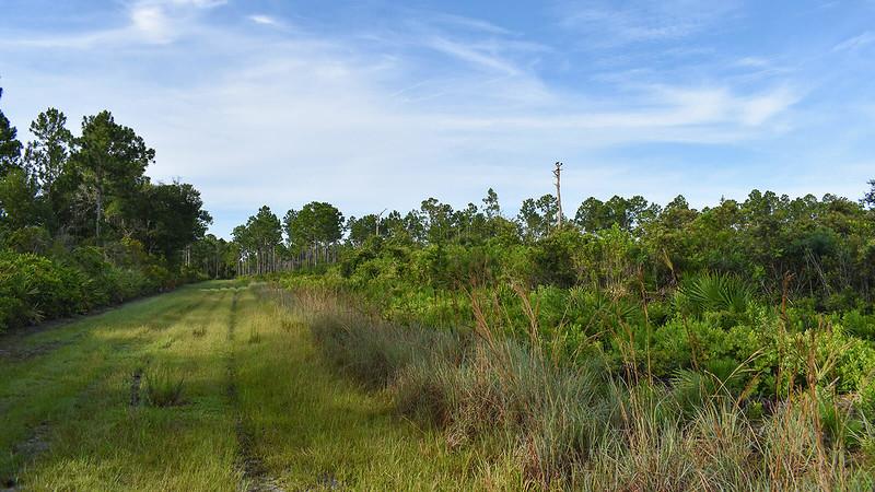 Mowed grassy strip next to pines