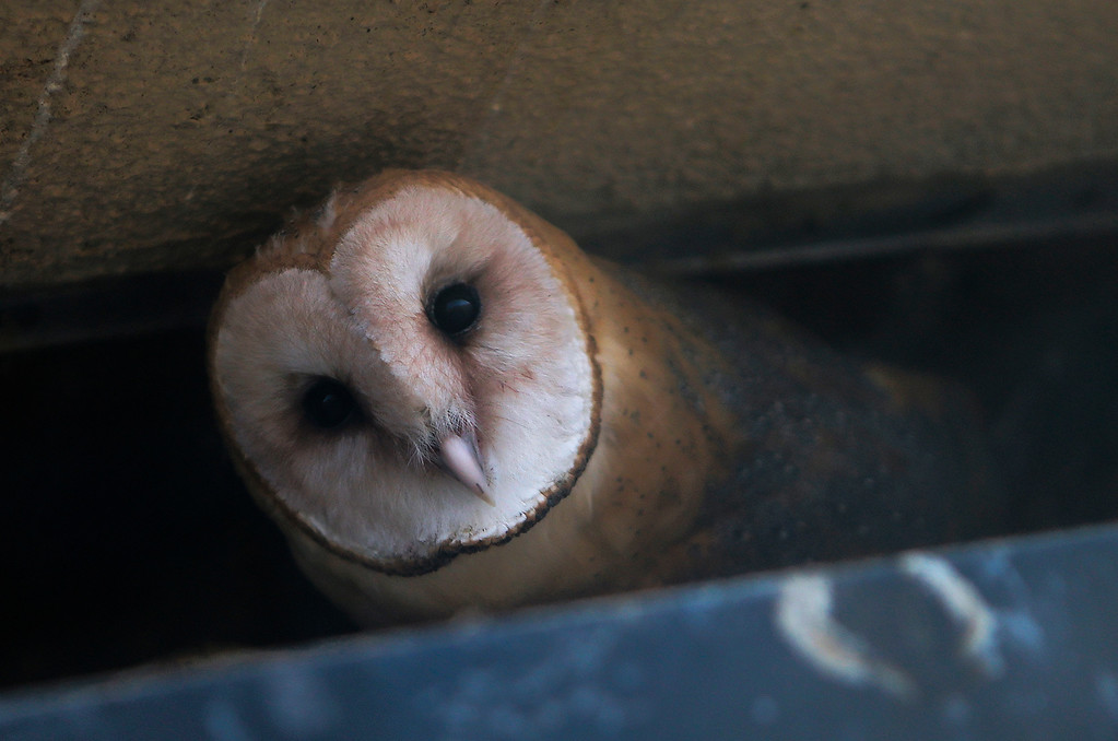 """. A barn owl sits in a nest outside the window of a hotel room at the San Francisco Airport Marriot Waterfront on Wednesday, July 31, 2013. The hotel has made special accomodations for its guest, and was recently given a \""""Certified Wildlife Habitat\"""" designation from the National Wildlife Federation. (John Green/Bay Area News Group)"""