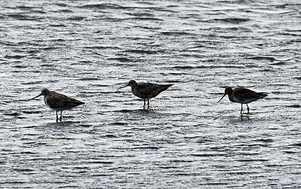 Snipe, Godwits, Curlew, Sandpipers