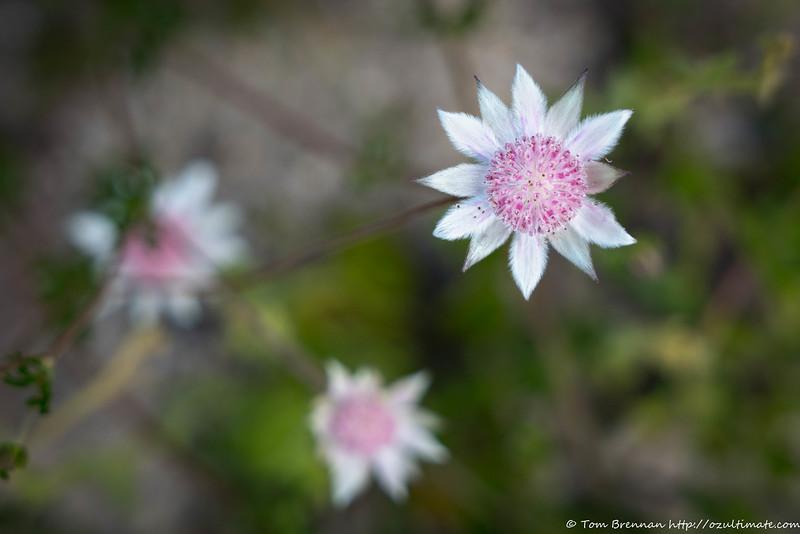 Actinotus forsythii (Pink Flannel Flower)