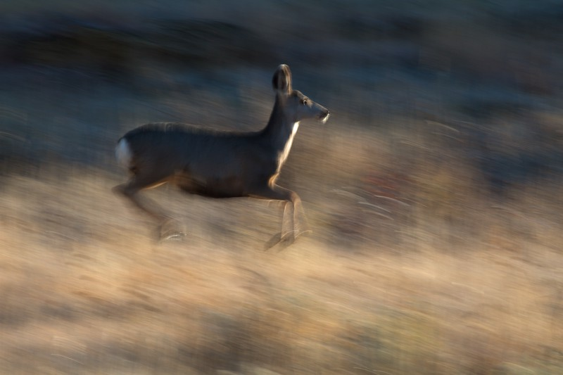 Mule Deer Teddy Roosevelt National Park ND IMG_7497.jpg