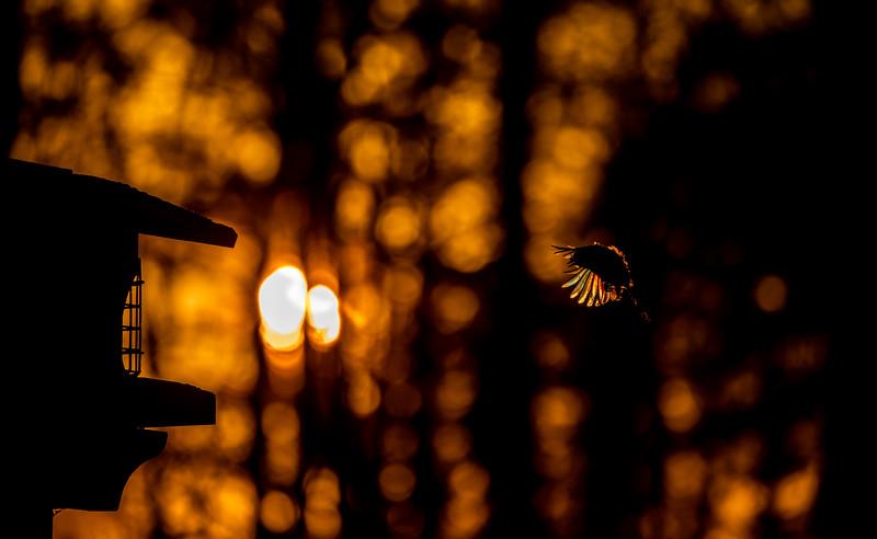 Black-capped Chickadee at feeder backlit backlighting Skogstjarna Carlton County MN  IMGC9374.jpg